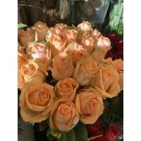 Roosa roos 60-70cm Equador