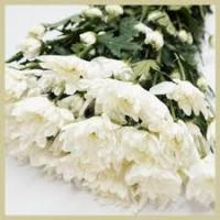 Krüsanteem valge 70cm
