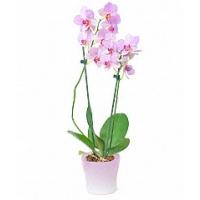 Kuuking 60cm, t.roosa+dekoratsioon